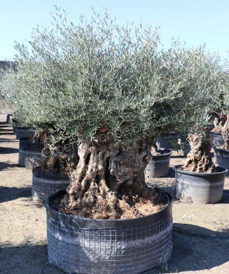 Olijfboom Bonsai Groenblijvende Bomen Wintergroene Bomen Koopt U Bij De Groenblijvende Bomen In Overloon Product